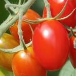 夏野菜の栽培初心者のプチトマトの植え時期とプランターの水やり方法