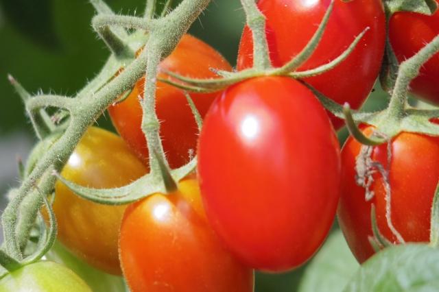 プチトマトのベランダ菜園