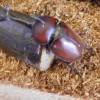 カブトムシの餌の代用品と飼育ケースの大きさや土がないとき