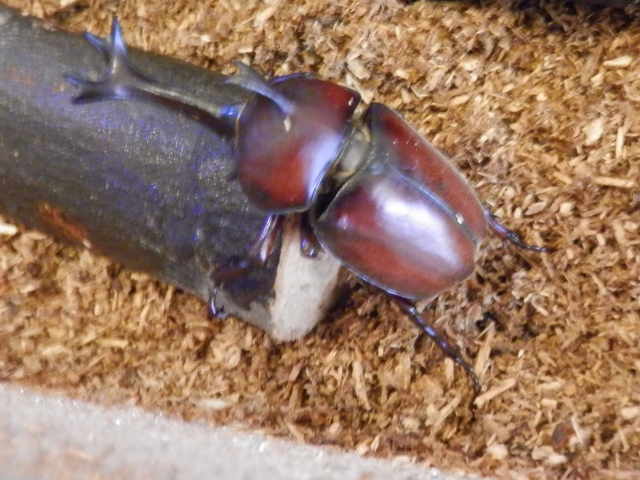かぶと虫の飼育代用品