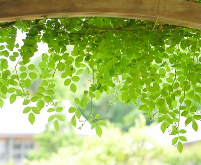 花のグリーンカーテン