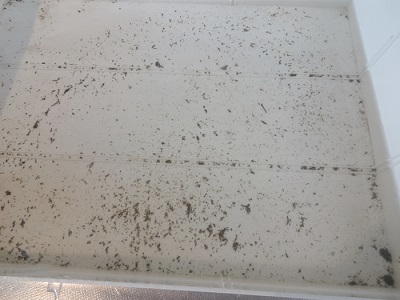 ホンビノス貝の排泄物モヤ抜き