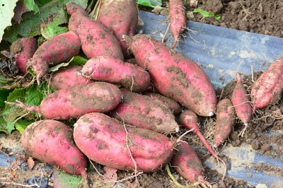 サツマイモの長期保存の方法