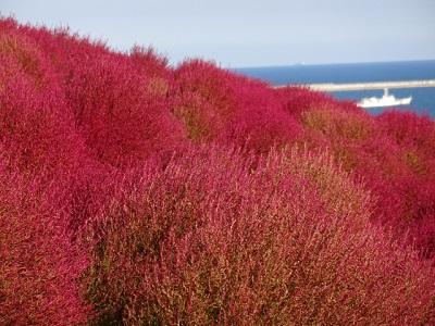 ほうき草の紅葉の見頃