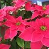 ポインセチアが赤くならない。クリスマスに葉を赤くする育て方は?