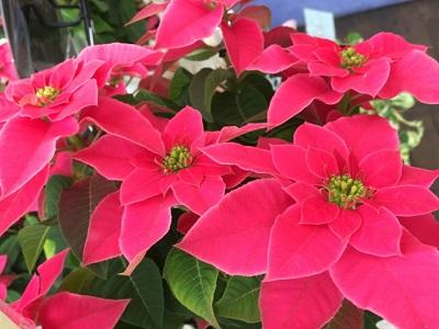 クリスマスの鉢植え花