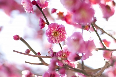 大倉山梅園の梅祭り