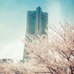 横浜みなとみらいの桜スポットとコース、お弁当が食べられる場所は?