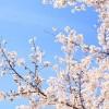 三ツ池公園の花見!桜の見ごろと満開の時期、夜桜のライトアップは?