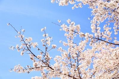 三ツ池公園のお花見