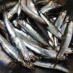 横浜ふれーゆ裏で小イワシ釣りで大漁!釣れるポイントと仕掛けや釣果は?