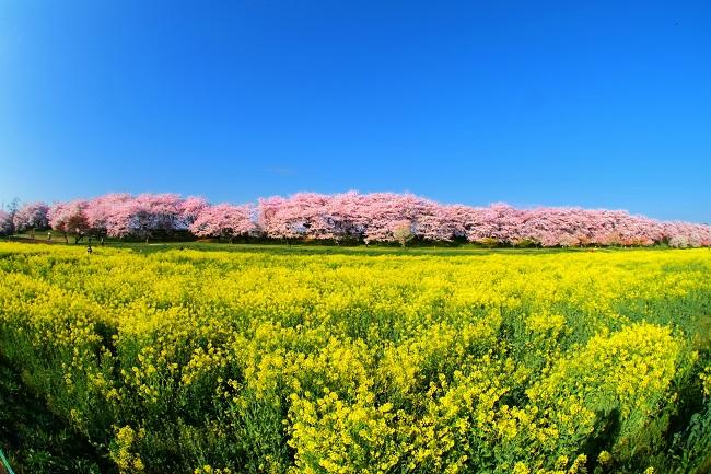 幸手権現堂桜堤の桜祭り