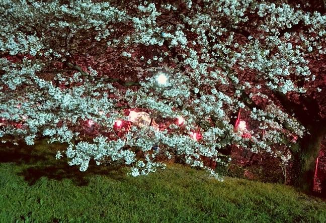権現堂公園の夜桜ライトアップ