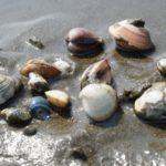 貝類の下処理のやり方!潮干狩りの貝を美味しく食べるためのコツ!